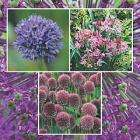100 Allium bulbs - just pay £3.99 to cover postage @  Thompson & Morgan