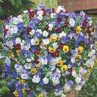 Pansy Cascading Balconita 8 jumbo plants - £2.99 (was £9.99) + Free delivery with code @ Thompson & Morgan [Today only]