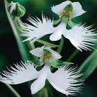Orchid - Habenaria radiata (White Egret Orchid) 3 For £2.99 or 6 For £4.99 (Including Free Delivery)  @Thompson & Morgan