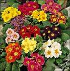 4 pkt of primulas only 99p HOME BARGAINS spring is here