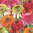 Echinacea Fruity Doubles Collection delivered for £7.99 @ Thompson & Morgan
