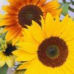 100% Pure Sunflower Oil 1 Litre Pump @ Tesco online & in-store