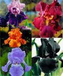 Bearded irises 10 bulbs - £20.95 @ Spalding