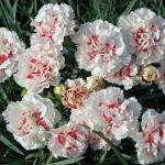 Pinks 'Dancing Queen' 5 Plants @ £2.49 or 15 Plants @ £4.99 DELIVERED... @Thompson & Morgan