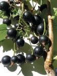 Black Currant & Red Currant Bush Plants just 10p at Focus