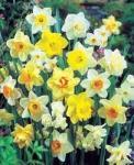 B&Q Garden Bulbs 50p