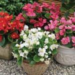 100 miniplugs + 50 Free.  Begonia Bada Bing F1  x £5.00  @ Fothergill's Plants