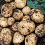 Seed Potatoes works out at half price( £1-52) with Glitch at B&Q