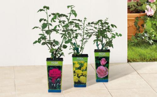 Garden Roses - £2.99 @ Lidl