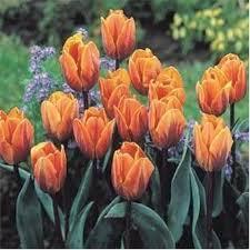 12 Roses £2.99 or 8 Tulips - £1.89 @ Aldi