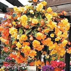 Begonia x tuberhybrida 'Illumination Mixed' - 42 plug plants £2.99 delivered @ Thompson & Morgan