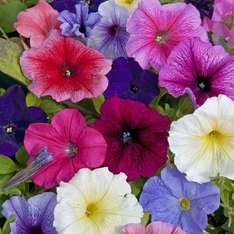 84 Petunia plug plants £2.99 @ Thompson & Morgan