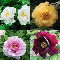 4 Tree Peonies for £10 at Van Meuwen +free P&P this weekend!