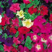 45 Petunia Mixed Plants  just 90p (using code GW11) @ Suttons