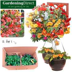 2 for 1 Fully Planted Hanging Baskets with Begonia Illumination Mix £12.74 (using 15% code) Delivered @ Dealtastic