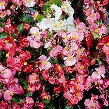 Begonia semperflorens 'Organdy' Mixed F1 - 150 mini-plugs £4.99 delivered @ Thompson & Morgan