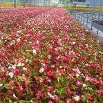 begonia party time mix 110 plug plants ! £4.99 @ jersey bedding plants