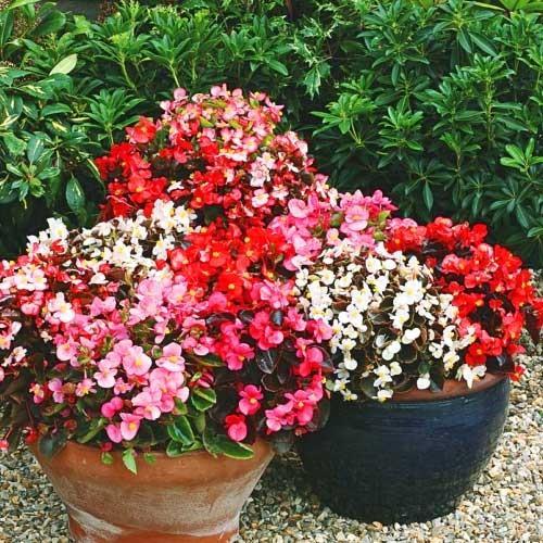 110 Begonia plug plants £4.49 @ Dealtastic