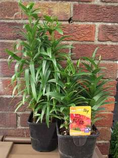 B&Q 2L POT LILLY PLANTS DOWN FROM £4.48 TO 20 PENCE EACH