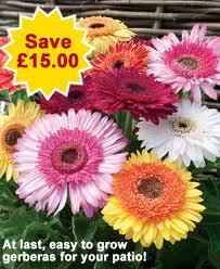 5 plants Gerbera 'Landscape Collection only £1 (+ P&P) @ Thompson @ Morgan - save £17.99.