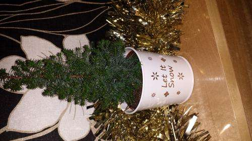 Tesco Mini Small Real Xmas Tree With Baby Roots Tesco £3