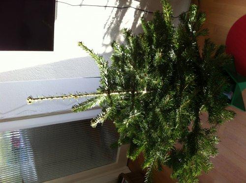 Homebase Real Christmas Trees Half Price £10
