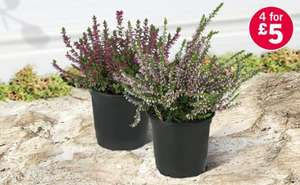Autumn Heather £1.49 or 4 for £5, Cyclamen £1.99, Rhododendron £4.49, Chrysanthemums - 6 Pack £2.99 @ Lidl