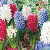 Gardening Direct: 50 mixed bedding hyacinth bulbs only £13.49 delivered + 5 free packs of veggie seeds (using code)