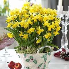 Narcissus 'Tête à Tête' Basket £4.99 Delivered @ Thompson & Morgan