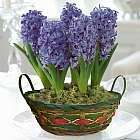 Christmas Hyacinth basket £3.71 P&P PlantOffers.