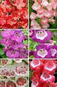 Penstemon Mix x 24 young plants- Offer £9.49 inc. FREE UK delivery at blooming direct + 12.87% TBC