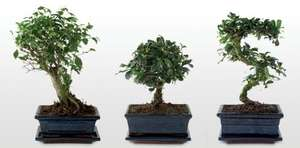Bonsai Tree / £7. 99  each @ Aldi (from 18th Dec)