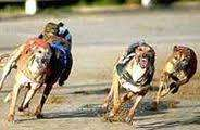 A meal & Entry ticket to Harlow Greyhound racing for 1 + guest for 1p