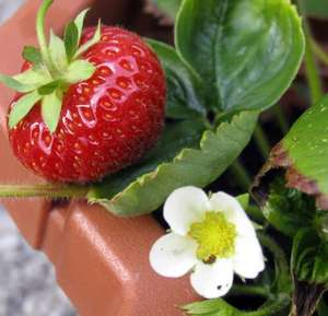 30 strawberry plants for £9.90 from Marshalls