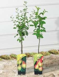 Dwarf Fruit Trees £9.99 @ Lidl - Pear, Apple, Plum or Cherry