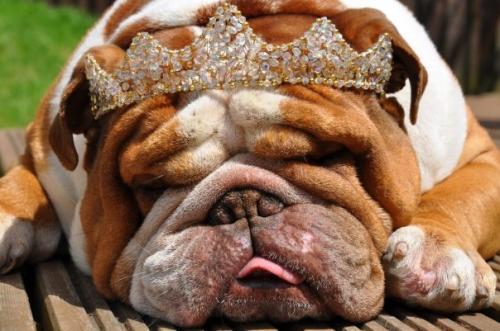 Royal Canin BULLDOG 14kg BOGOF £43.99 @ GJW Titmuss