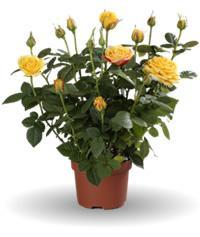 Mini Rose house plant for £1 @ Morrisons