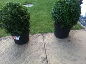 Buxus 2 for £15 at Tesco Instore