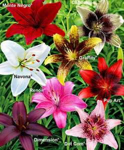 8 Lilies in 8 Varieties for £9.95 from spaldingbulb.com