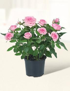 Mini Roses - £1.99 @ Lidl