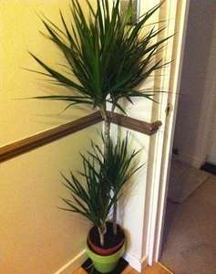 Tesco LARGE indoor plants only £10 instore