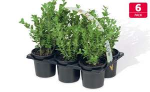 Hedging Plants - 6 Pack  @ lidl.       £4.99