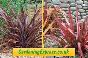 GROUPON : Five Evergreen New Zealand Flax Plants for £29+7.95 del @ Gardeningexpress.co.uk