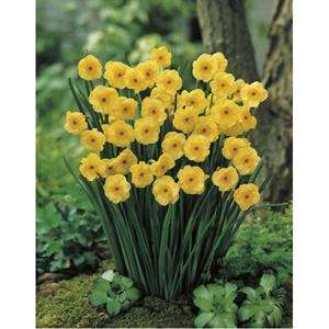 Daffodil bulbs from Wilkinson on BOGOF - £1.79 for 20 Bulbs (delivered to store)