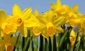 Daffodil bulbs bag of 50 £1.50 Tesco