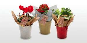 Christmas Flowering Plants - £2.99 each at Aldi