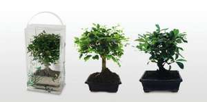 Bonsai Tree £7.99  each. Sunday special @ Aldi