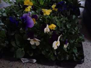 20 bedding plants (3 varieties to choose from) instore £1.49 @ Home Bargains