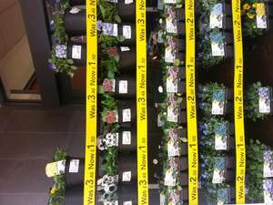 Spring bedding plants - £1.50 instore @ Wilkinson Plus