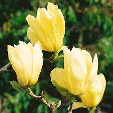 Van Meuwen Magnolia 'Yellow River' Tree for 1p plus postage = £3.96. Normally £29.99